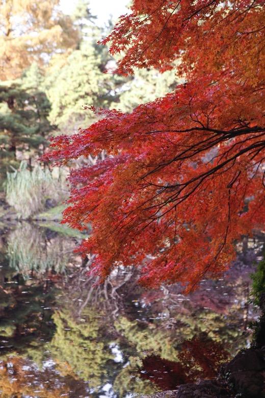 Shinjuku gyoen autumn leaves2