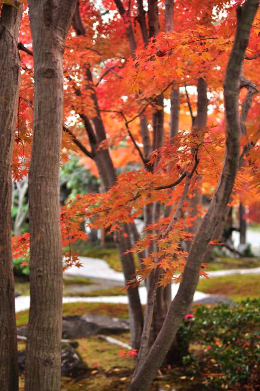 Autumn leaves in arashiyama2