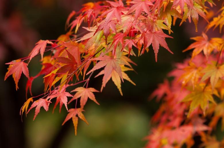 Autumn leaves in hakone2
