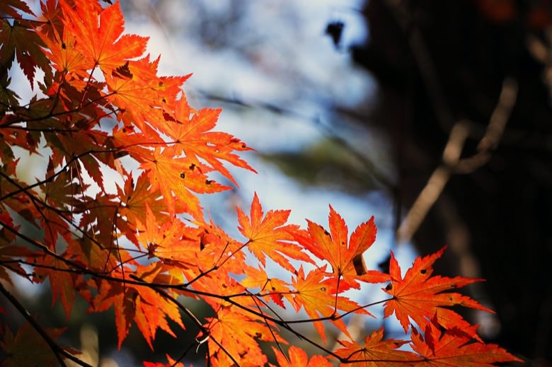 Autumn leaves in minoo1